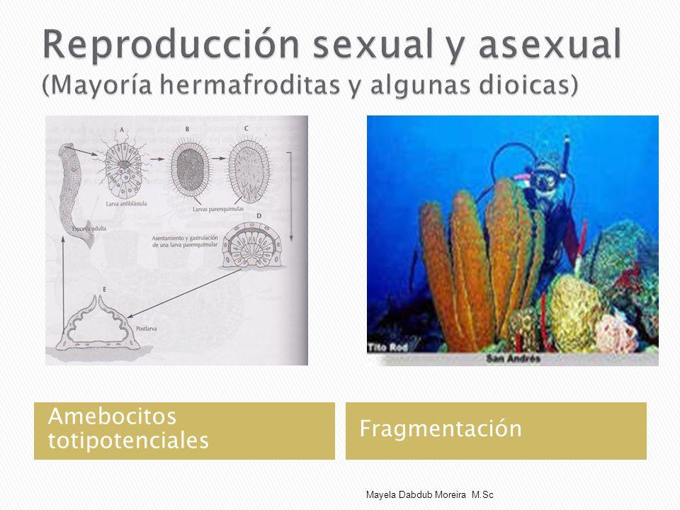Reproducción sexual y asexual (Mayoría hermafroditas y algunas dioicas)