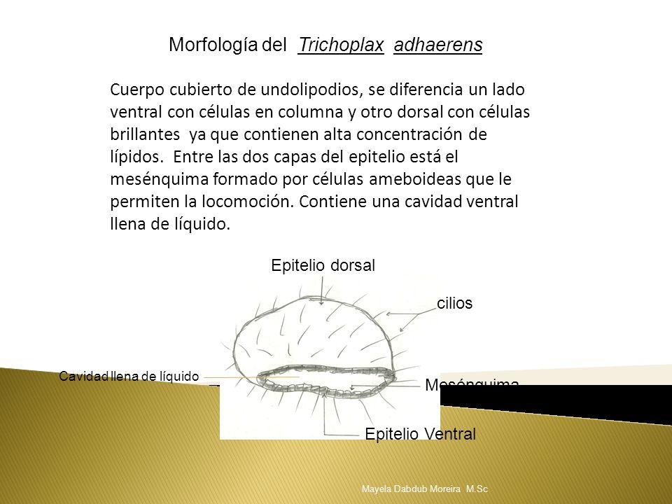 Morfología del Trichoplax adhaerens