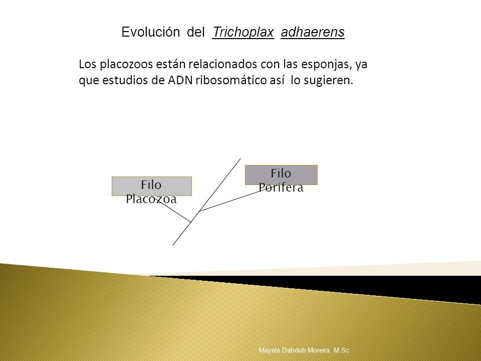 Evolución del Trichoplax adhaerens
