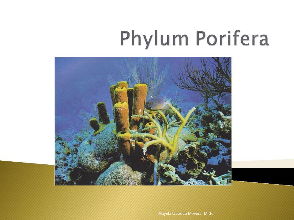 Phylum Porifera Mayela Dabdub Moreira M.Sc