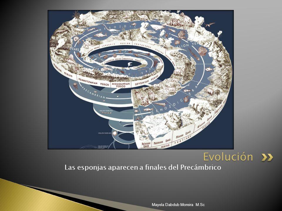 Evolución Las esponjas aparecen a finales del Precámbrico