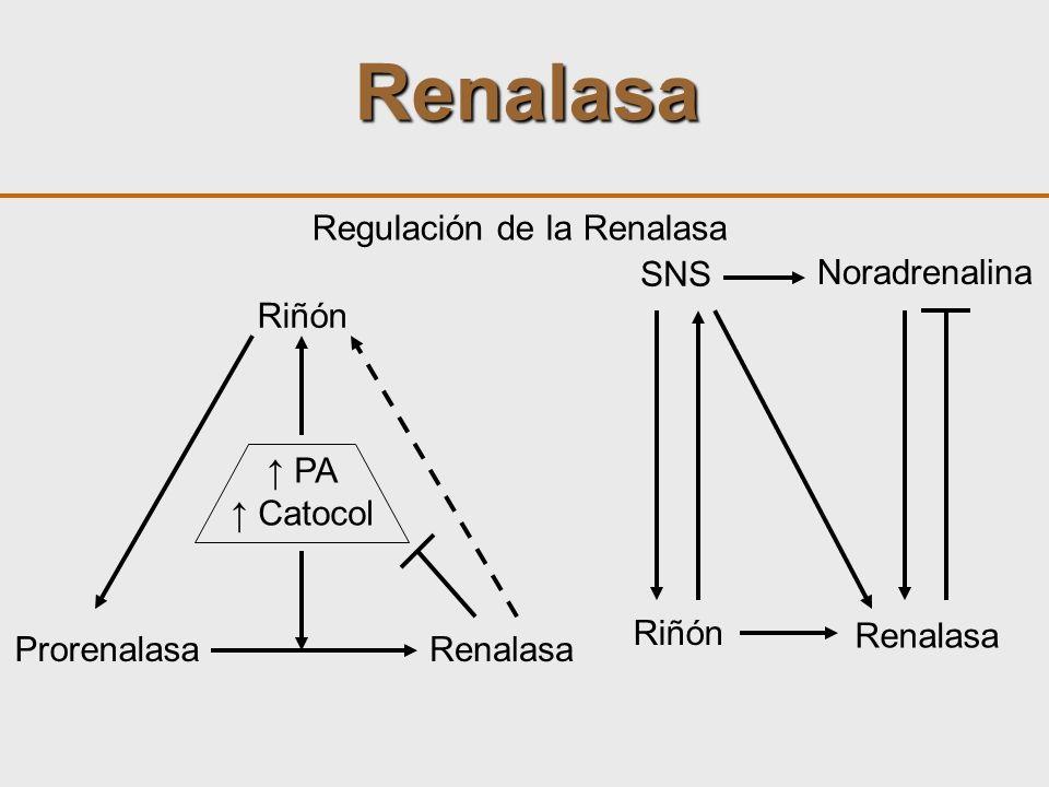 Renalasa Regulación de la Renalasa SNS Riñón Noradrenalina Renalasa