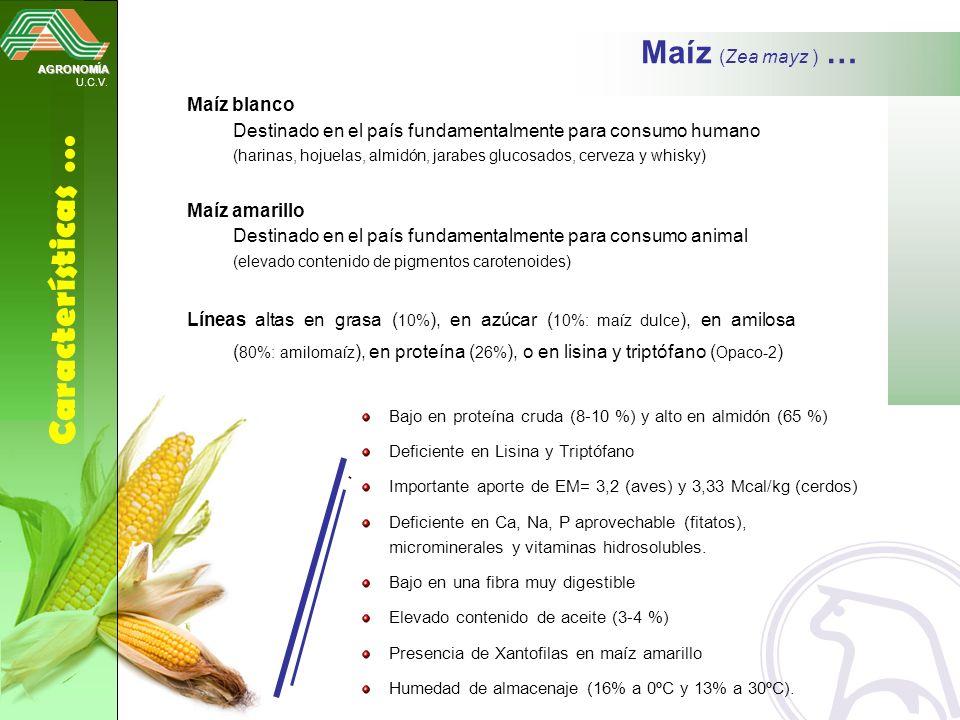 Características … Maíz (Zea mayz ) … Maíz blanco