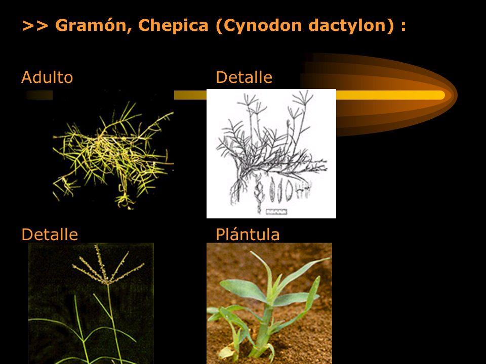 >> Gramón, Chepica (Cynodon dactylon) :
