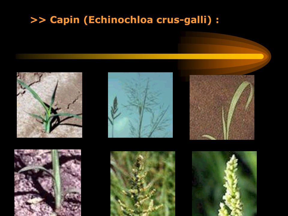>> Capin (Echinochloa crus-galli) :