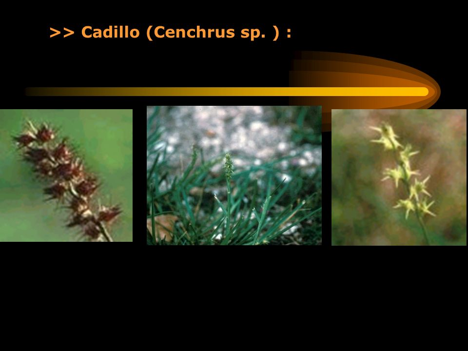 >> Cadillo (Cenchrus sp. ) :