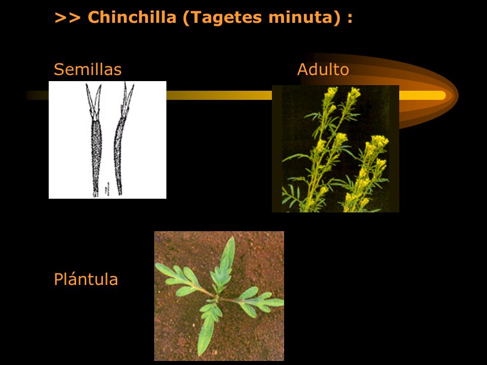 >> Chinchilla (Tagetes minuta) :