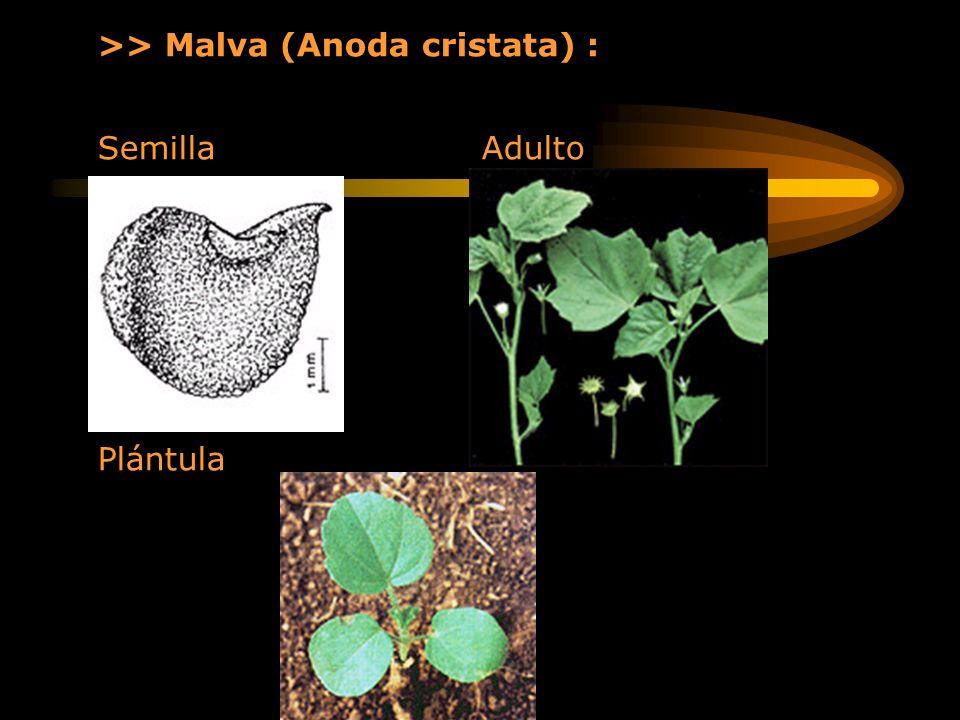 >> Malva (Anoda cristata) :