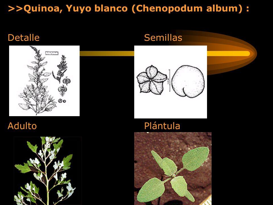 >>Quinoa, Yuyo blanco (Chenopodum album) :