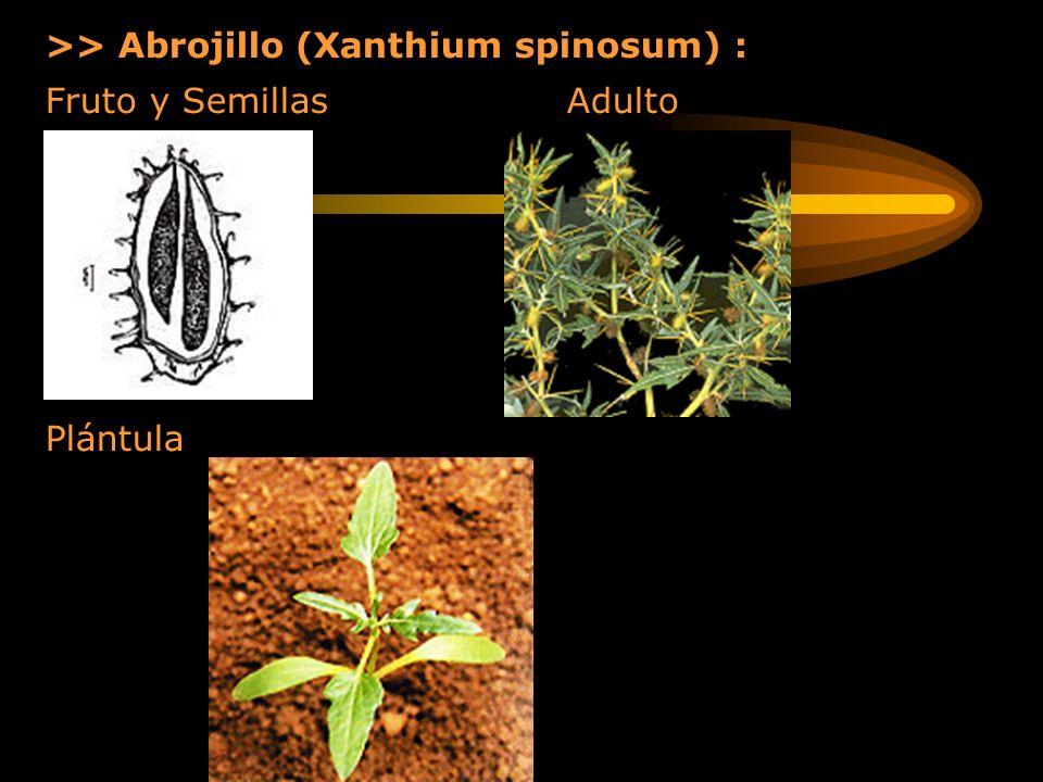 >> Abrojillo (Xanthium spinosum) :