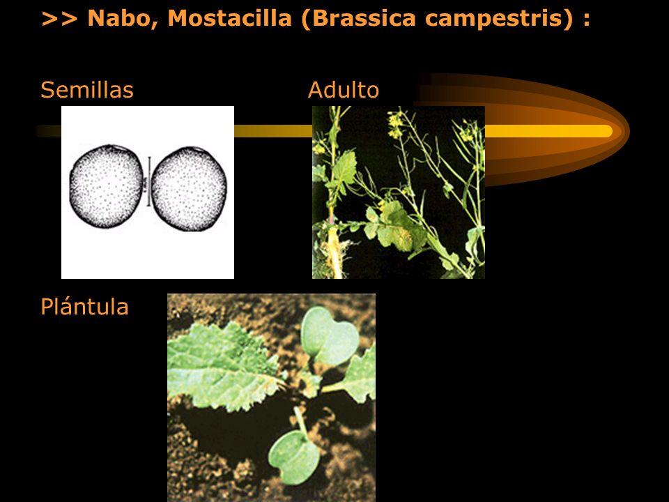>> Nabo, Mostacilla (Brassica campestris) :