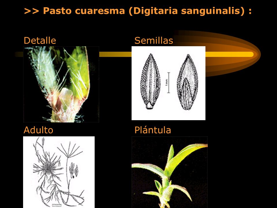 >> Pasto cuaresma (Digitaria sanguinalis) :