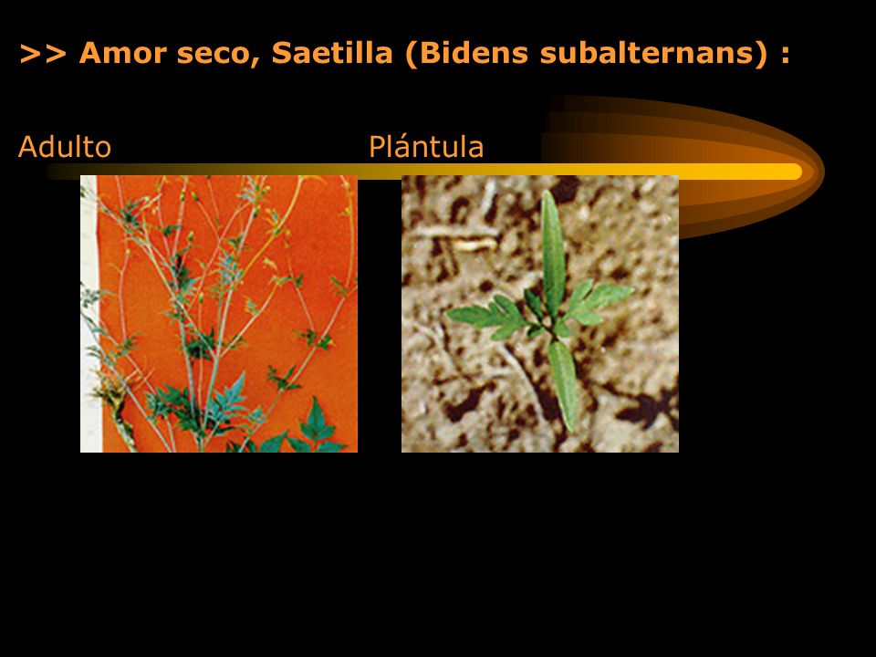 >> Amor seco, Saetilla (Bidens subalternans) :