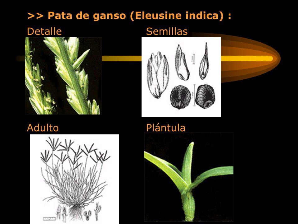 >> Pata de ganso (Eleusine indica) :