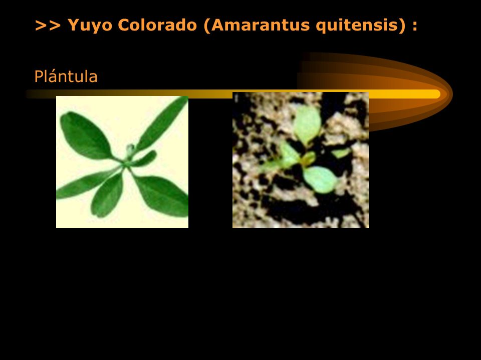 >> Yuyo Colorado (Amarantus quitensis) :