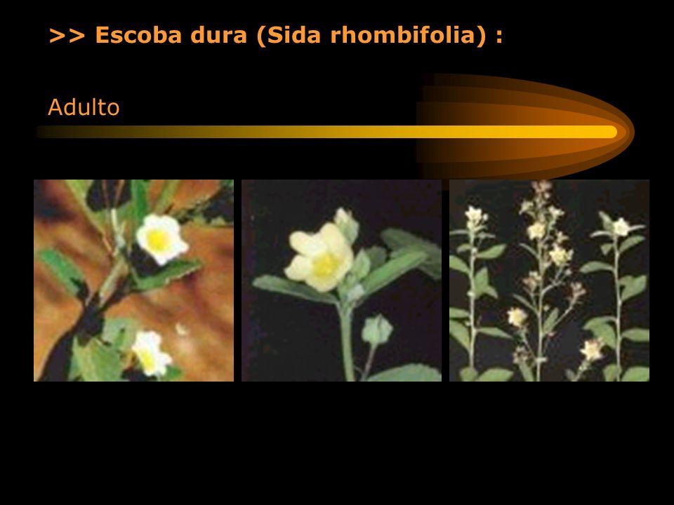 >> Escoba dura (Sida rhombifolia) :