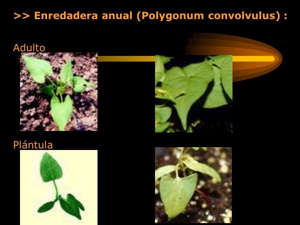 >> Enredadera anual (Polygonum convolvulus) :