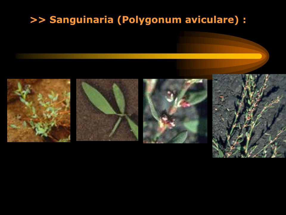 >> Sanguinaria (Polygonum aviculare) :