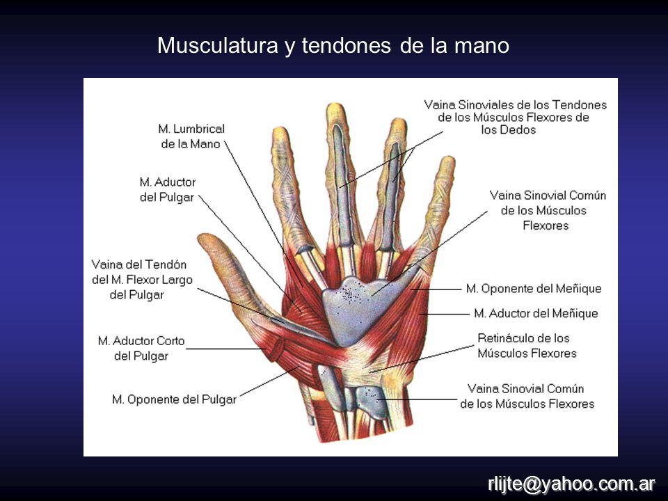 Musculatura y tendones de la mano