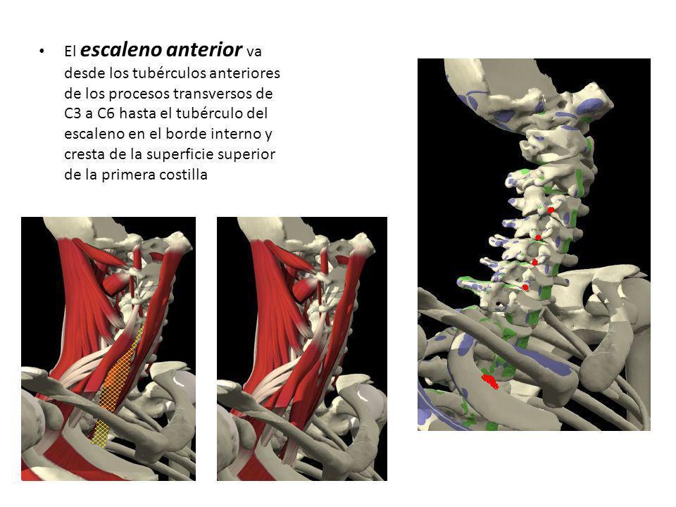 El escaleno anterior va desde los tubérculos anteriores de los procesos transversos de C3 a C6 hasta el tubérculo del escaleno en el borde interno y cresta de la superficie superior de la primera costilla
