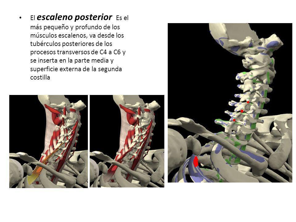 El escaleno posterior Es el más pequeño y profundo de los músculos escalenos, va desde los tubérculos posteriores de los procesos transversos de C4 a C6 y se inserta en la parte media y superficie externa de la segunda costilla