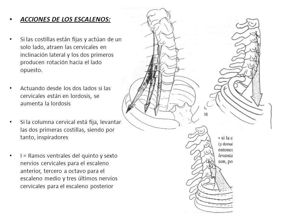 ACCIONES DE LOS ESCALENOS:
