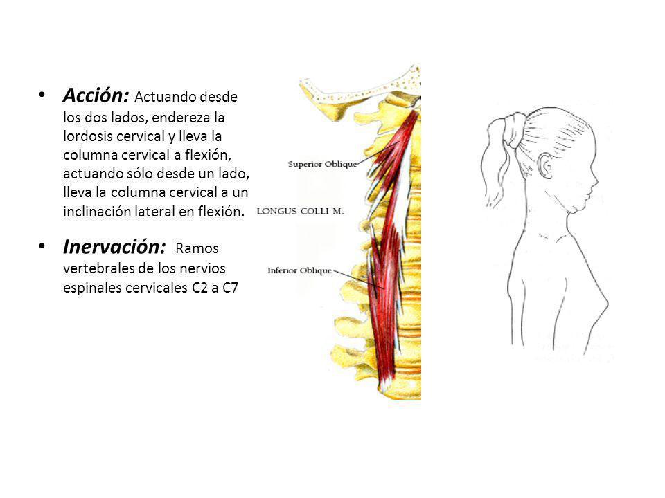 Acción: Actuando desde los dos lados, endereza la lordosis cervical y lleva la columna cervical a flexión, actuando sólo desde un lado, lleva la columna cervical a una inclinación lateral en flexión.