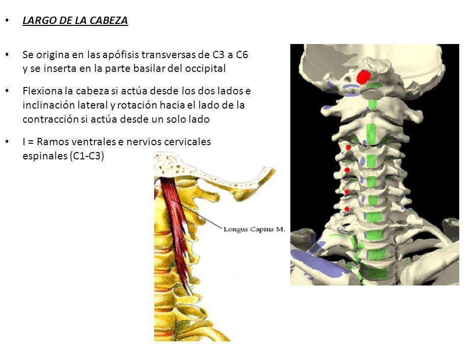 LARGO DE LA CABEZA Se origina en las apófisis transversas de C3 a C6 y se inserta en la parte basilar del occipital.