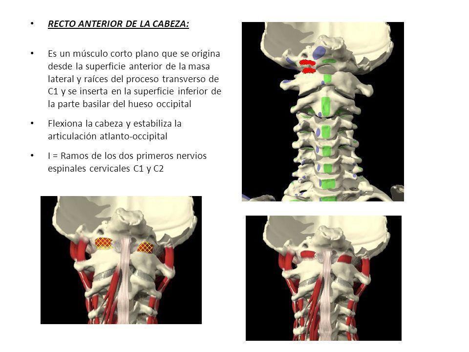 RECTO ANTERIOR DE LA CABEZA: