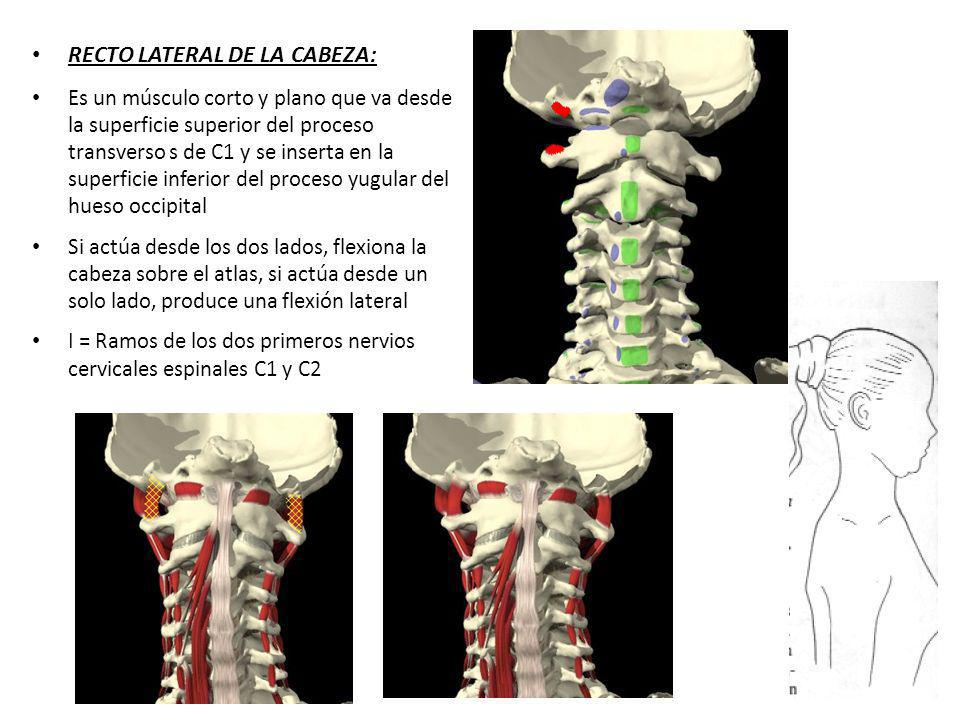 RECTO LATERAL DE LA CABEZA: