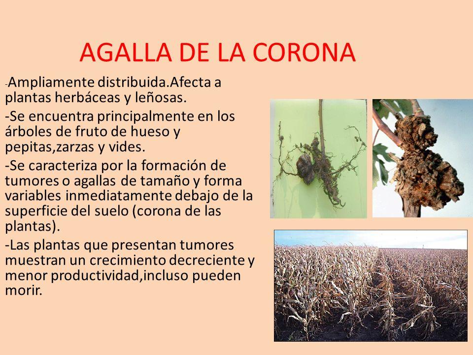 AGALLA DE LA CORONA -Ampliamente distribuida.Afecta a plantas herbáceas y leñosas.