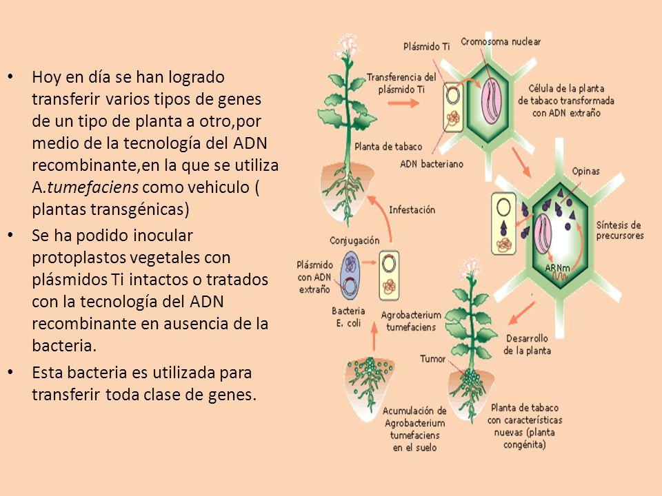 Hoy en día se han logrado transferir varios tipos de genes de un tipo de planta a otro,por medio de la tecnología del ADN recombinante,en la que se utiliza A.tumefaciens como vehiculo ( plantas transgénicas)