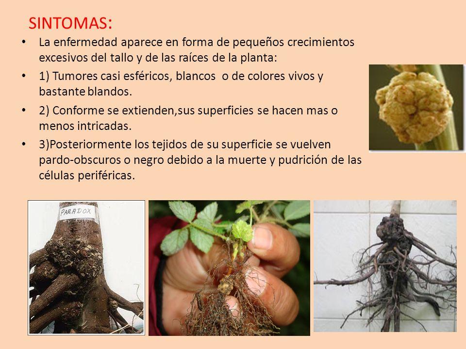 SINTOMAS: La enfermedad aparece en forma de pequeños crecimientos excesivos del tallo y de las raíces de la planta: