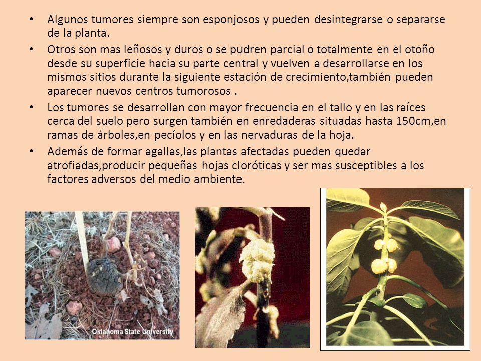 Algunos tumores siempre son esponjosos y pueden desintegrarse o separarse de la planta.