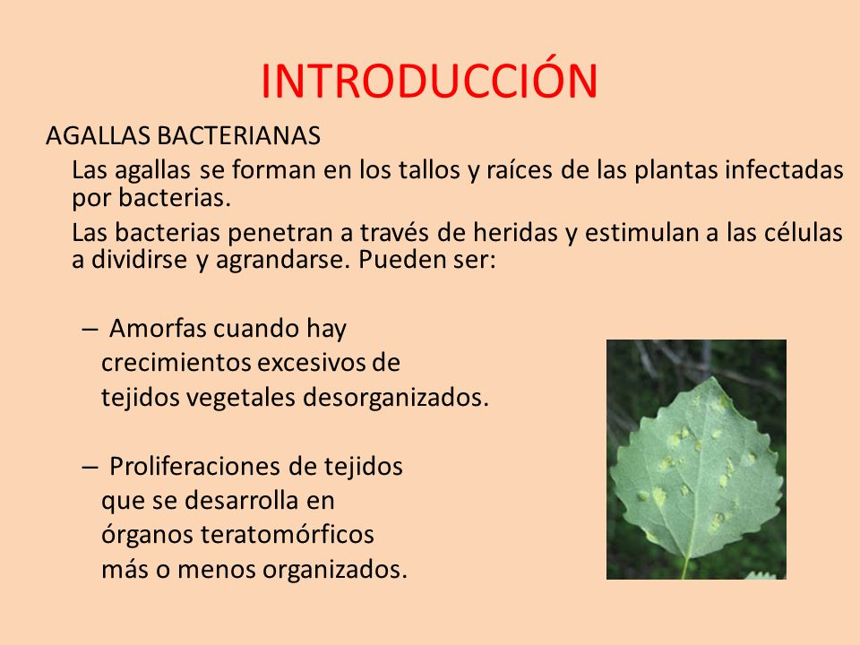 INTRODUCCIÓN AGALLAS BACTERIANAS