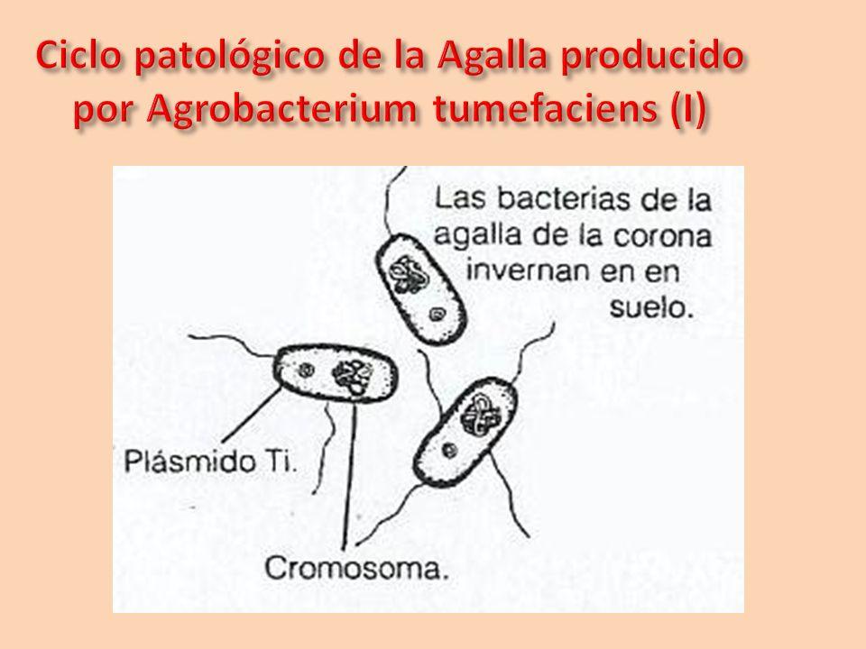Ciclo patológico de la Agalla producido por Agrobacterium tumefaciens (I)