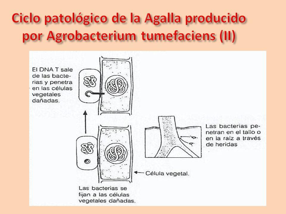 Ciclo patológico de la Agalla producido por Agrobacterium tumefaciens (II)