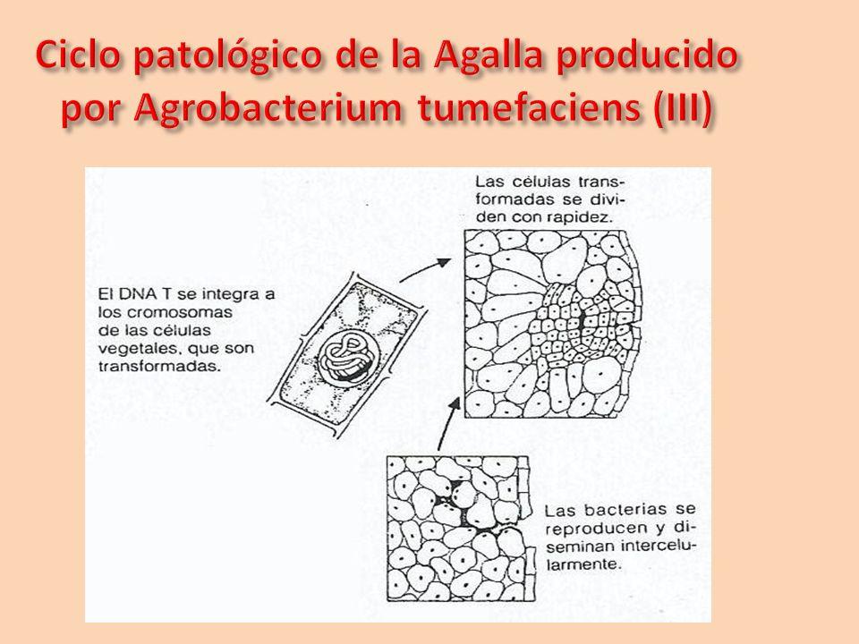 Ciclo patológico de la Agalla producido por Agrobacterium tumefaciens (III)