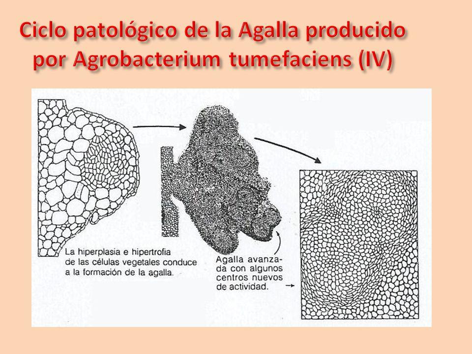 Ciclo patológico de la Agalla producido por Agrobacterium tumefaciens (IV)
