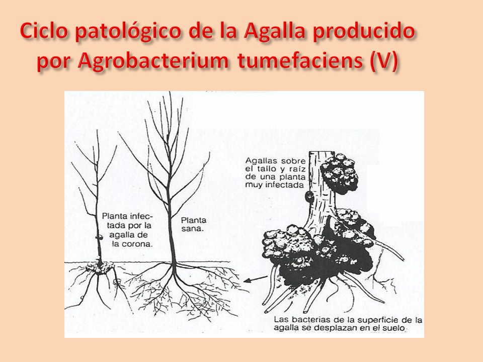 Ciclo patológico de la Agalla producido por Agrobacterium tumefaciens (V)
