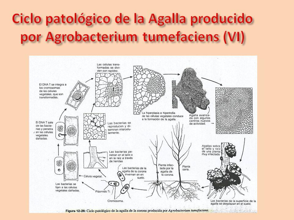 Ciclo patológico de la Agalla producido por Agrobacterium tumefaciens (VI)