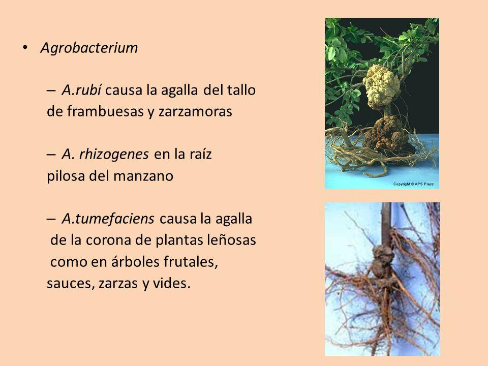 Agrobacterium A.rubí causa la agalla del tallo. de frambuesas y zarzamoras. A. rhizogenes en la raíz.