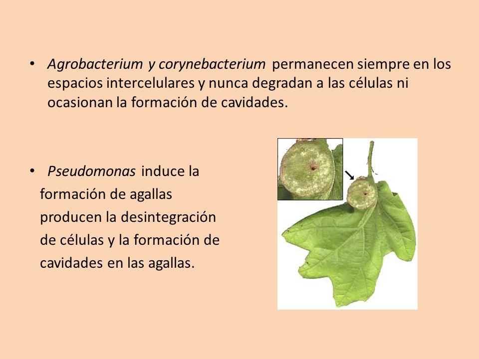 Agrobacterium y corynebacterium permanecen siempre en los espacios intercelulares y nunca degradan a las células ni ocasionan la formación de cavidades.