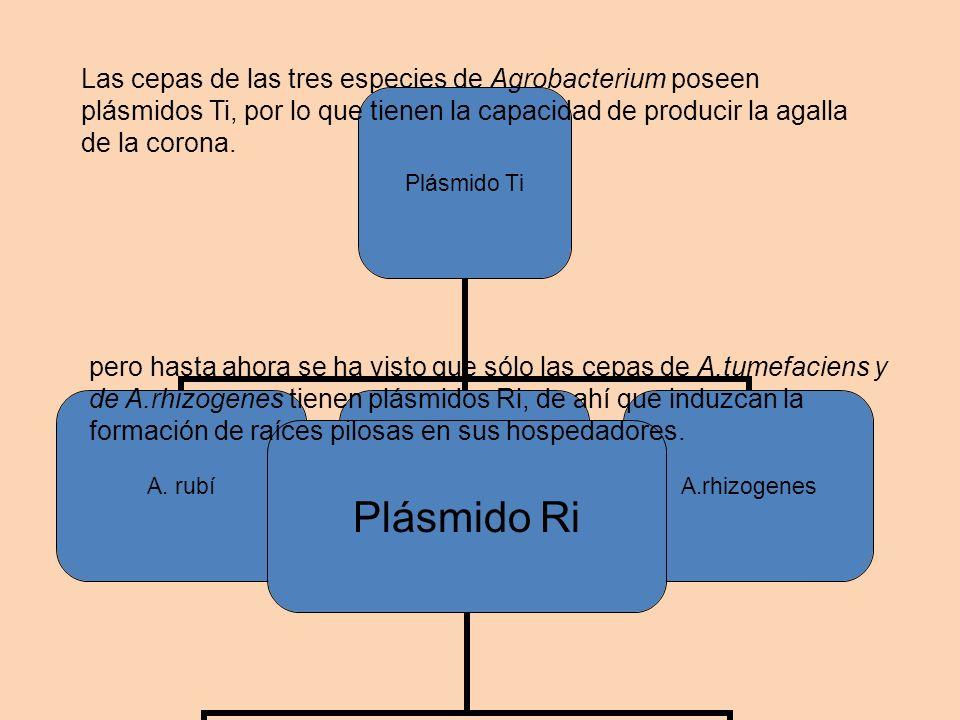 Las cepas de las tres especies de Agrobacterium poseen plásmidos Ti, por lo que tienen la capacidad de producir la agalla de la corona.