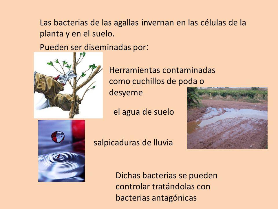 Las bacterias de las agallas invernan en las células de la planta y en el suelo.