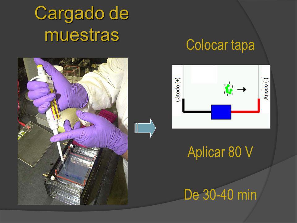 Cargado de muestras Colocar tapa Aplicar 80 V De 30-40 min
