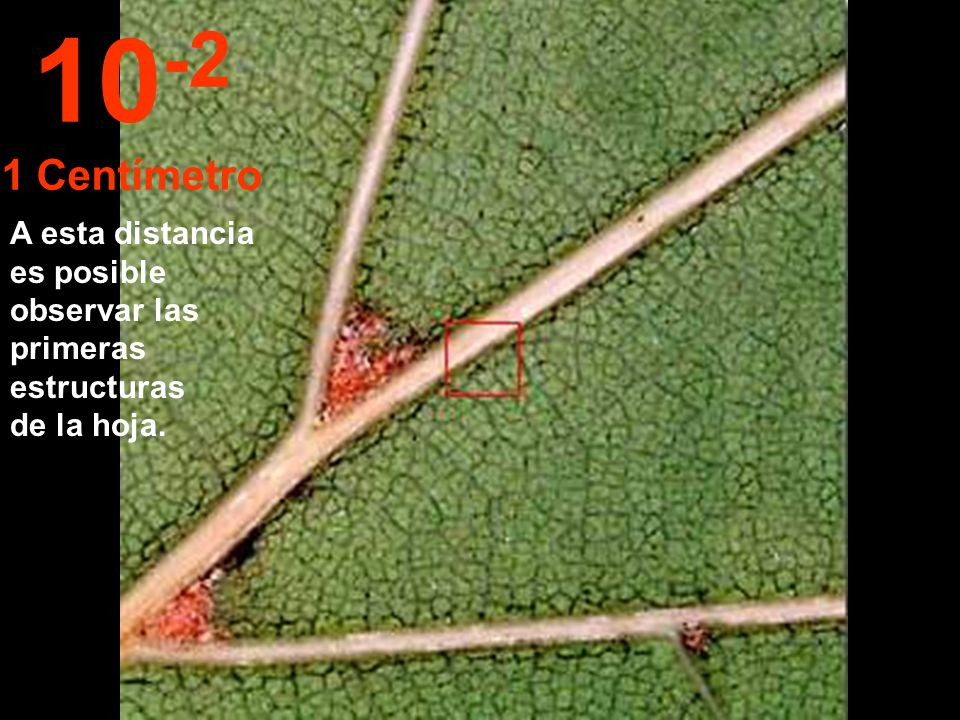 10-2 1 Centímetro A esta distancia es posible observar las primeras estructuras de la hoja.