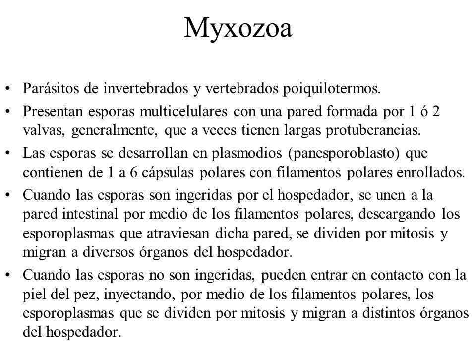 Myxozoa Parásitos de invertebrados y vertebrados poiquilotermos.