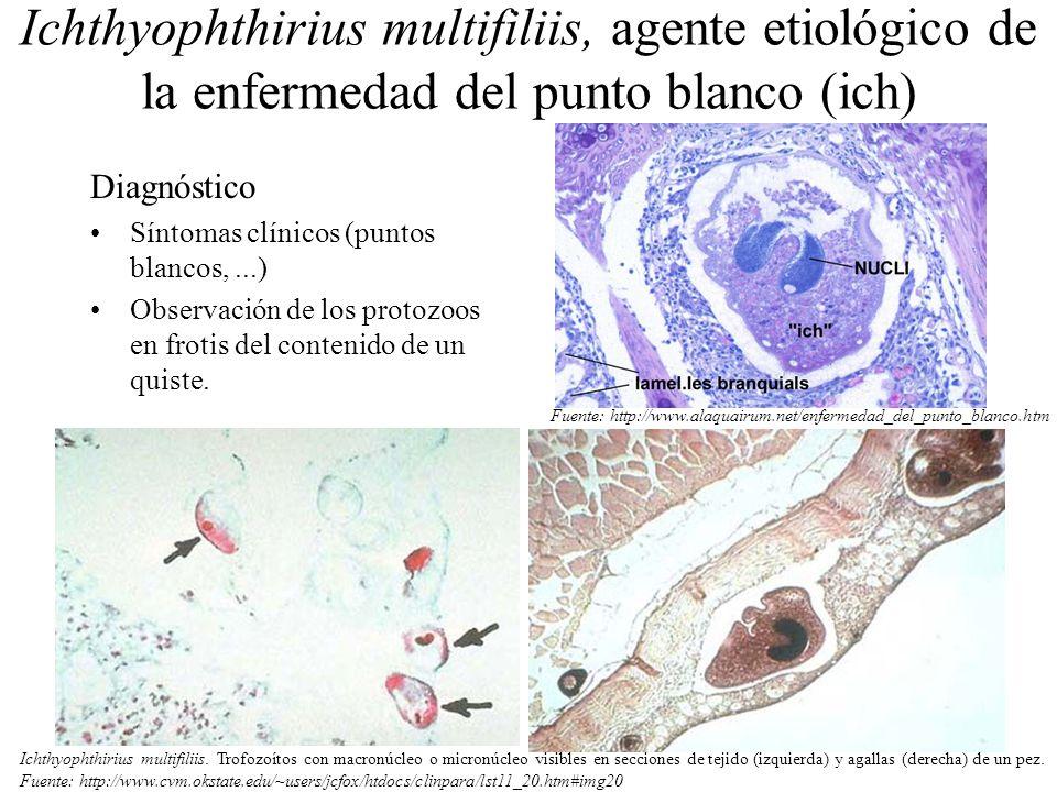 Ichthyophthirius multifiliis, agente etiológico de la enfermedad del punto blanco (ich)
