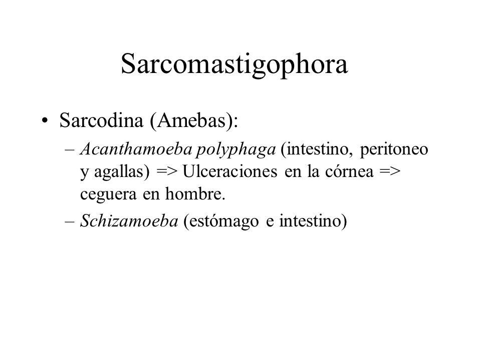 Sarcomastigophora Sarcodina (Amebas):